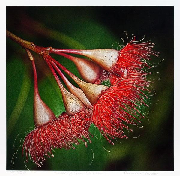 Flowering Gum Blossom